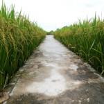 Nghị định số 35/2015/NĐ-CP về quản lý, sử dụng đất trồng lúa