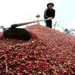 Tây Nguyên: Dự báo mất mùa cà phê