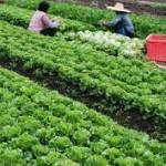 Phát triển xuất khẩu rau, quả bền vững